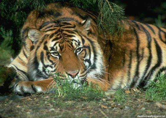 Una tigre