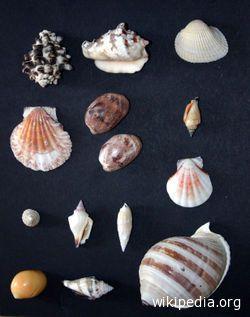 Una nuova collezione di conchiglie al Museo Ittico di San Benedetto