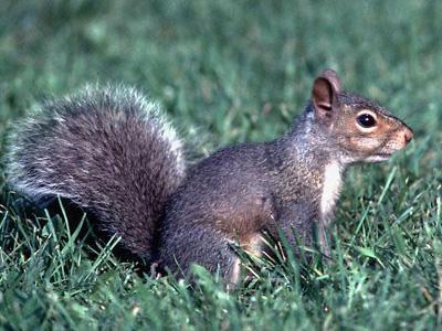 Uno scoiattolo si aggira per zona Ragnola