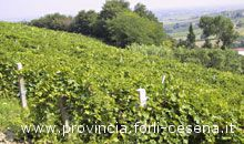 Viti in Emilia Romagna