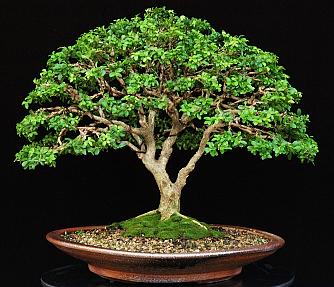 Mostra bonsai a stella di monsampolo riviera oggi for Bonsai pianta