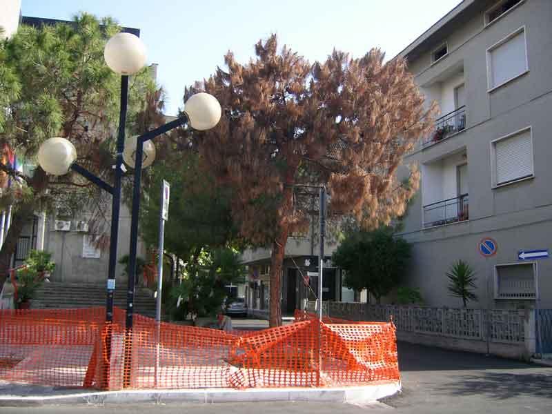 Uno dei pini secchi davanti al comune di Martinsicuro