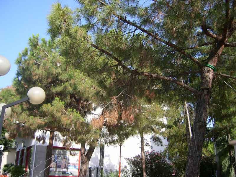 Questi pini hanno resistito nonostante al taglio delle numerose radici e hanno subito dei danni solo marginali