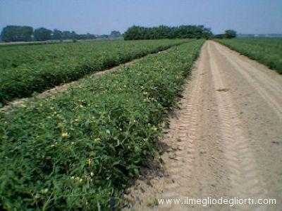 Una coltivazione di spinaci