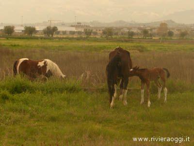 Cavalli pascolano liberamente alla Sentina