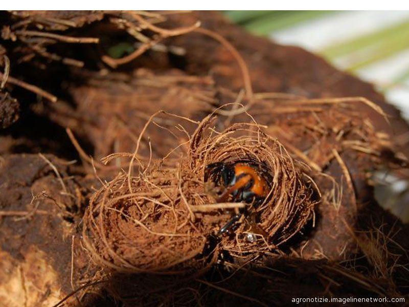 Il punteruolo rosso nel suo nido, ricavato nella palma