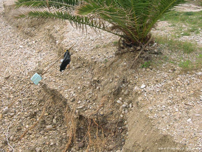 Palme con le radici scoperte zona Tesino sud