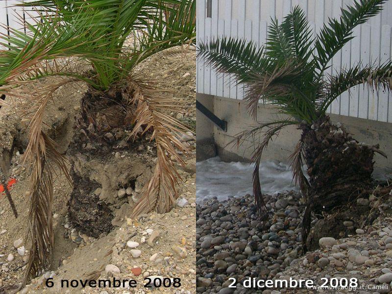 Confronto tra foto: la stessa palma il 6 novembre e il 2 dicembre, la situazione peggiora