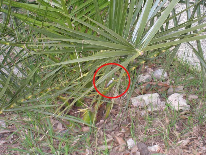 Una siringa conficcata nel tronco di una palma