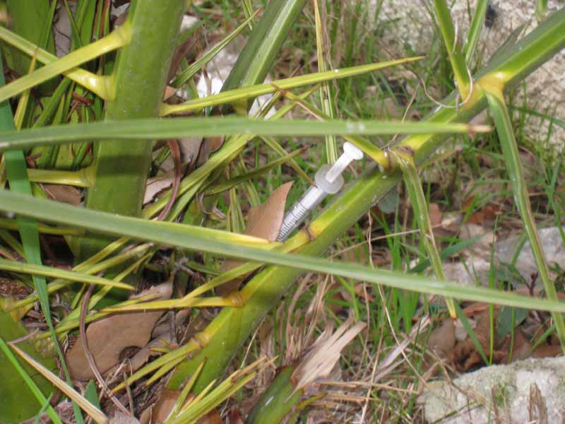 Una siringa conficcata nel tronco di una piccola palma