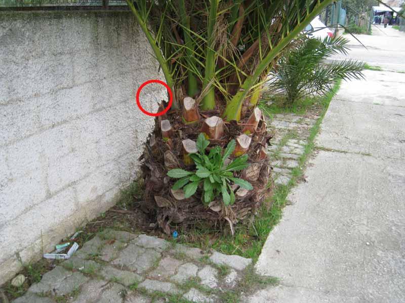 Siringhe conficcate in una palma in via Salinello