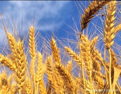 Il grano e molti altri cereali contengono glutine.