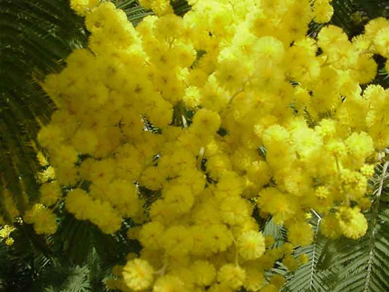 una mimosa