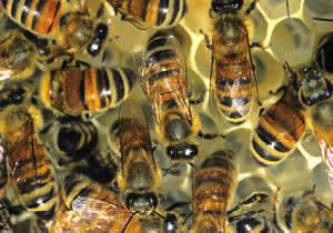 La api mentre producono propoli