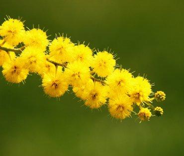 La mimosa, simbolo della festa delle donne