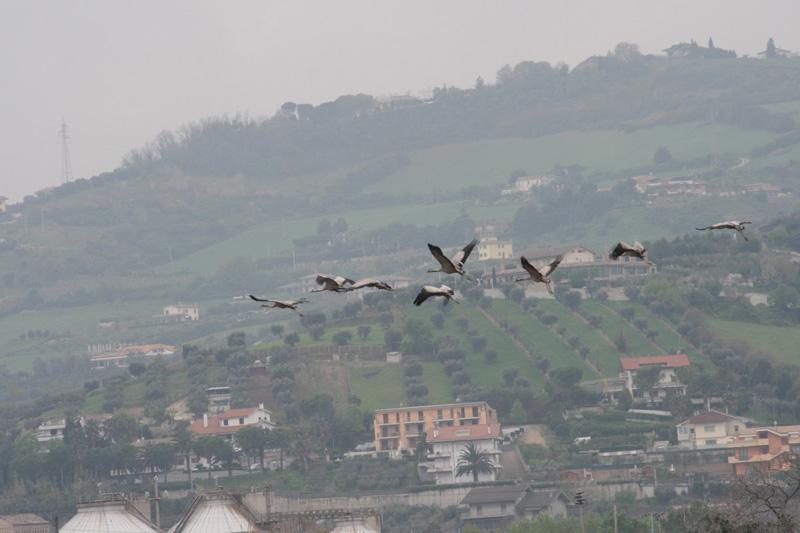 Il volo delle gru alla Sentina, domenica 17 aprile