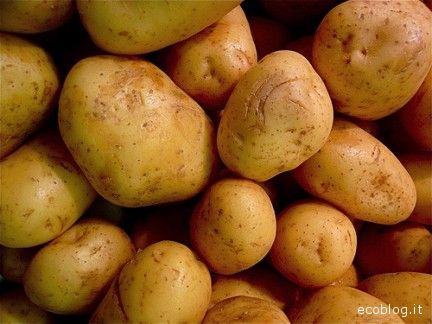 Patate e mais ogm nell'cchio del ciclone