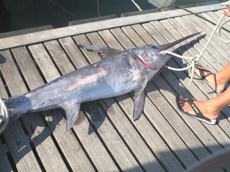 Il pescespada appena pescato