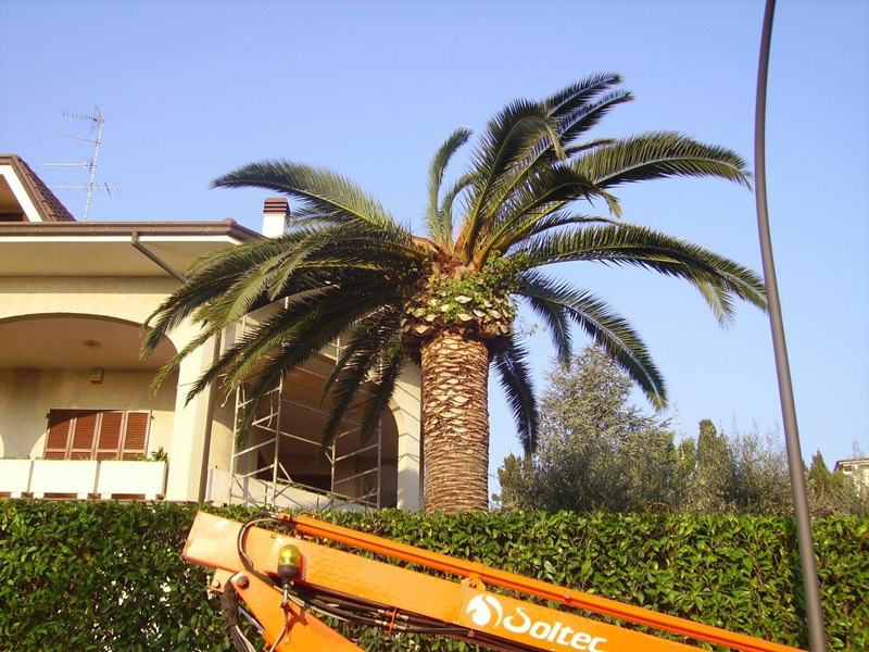 Una palma colpita dal punteruolo rosso