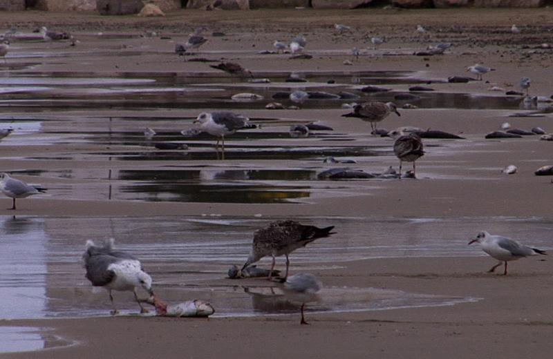 Cefali morti a nord del porto, venerdì mattina
