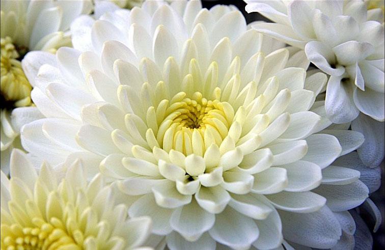 Un crisantemo, fiore simbolo delle festività dei defunti