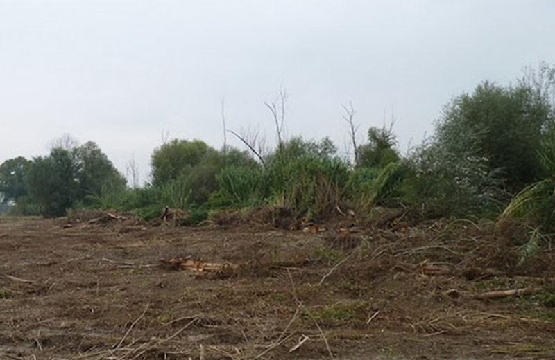 Alberi tagliati in un'area di Ancarano