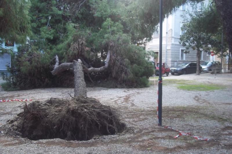 Il pino caduto alla Pineta Ricciotti, novembre 2010