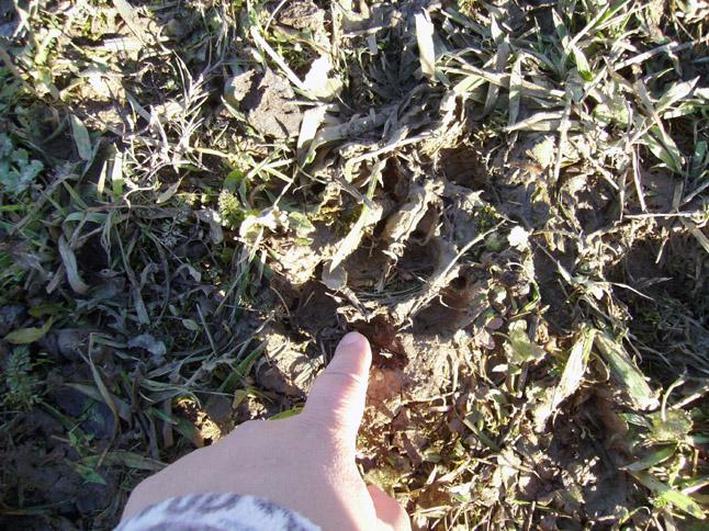 San Marco, l'impronta dei lupi che hanno assalito le pecore, 3 dicembre 2010
