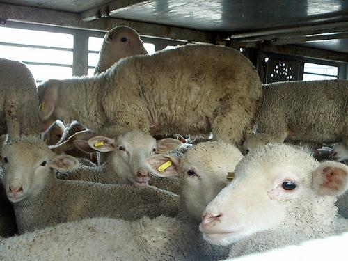 trasporto_pecore