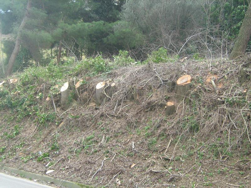 Piante tagliate lungo la strada provinciale per Monteprandone