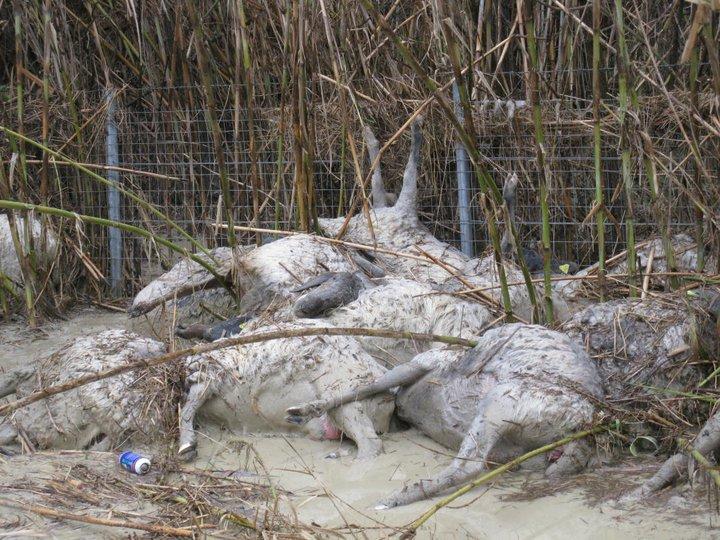 Allagamento, strage di pecore a Centobuchi (ph. Vesperini) 2