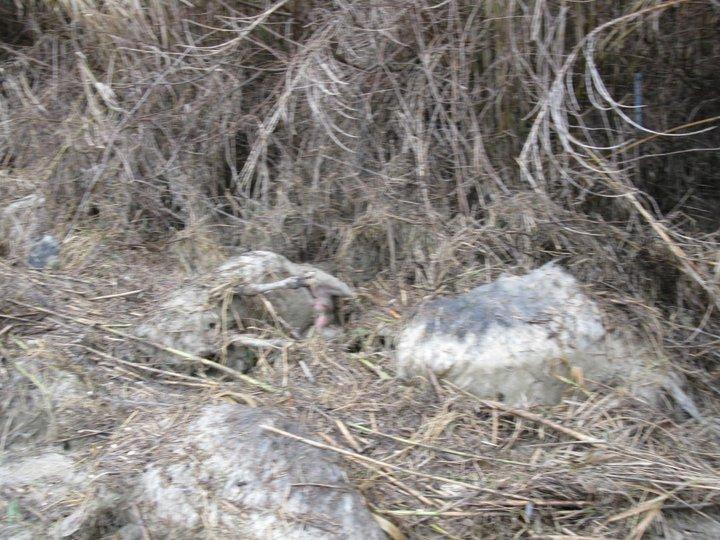 Allagamento, strage di pecore a Centobuchi (ph. Vesperini) 4