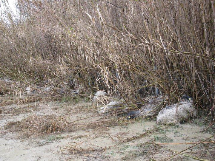 Allagamento, strage di pecore a Centobuchi (ph. Vesperini) 7