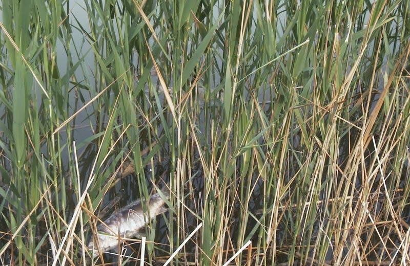 Pesci morti nel lago Lepore di Colonnella
