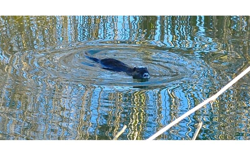 Una nutria che nuota nel fiume Tesino