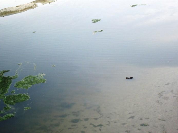 Una nutria sulla foce del tesino
