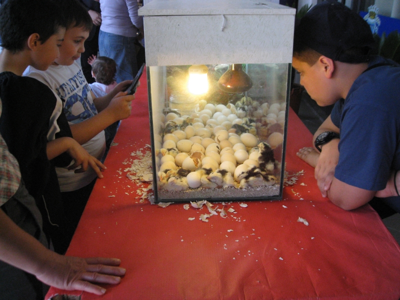 Bambini guardano la schiusa dei pulcini di razza Ancona