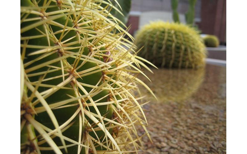 Cactus (da Google)
