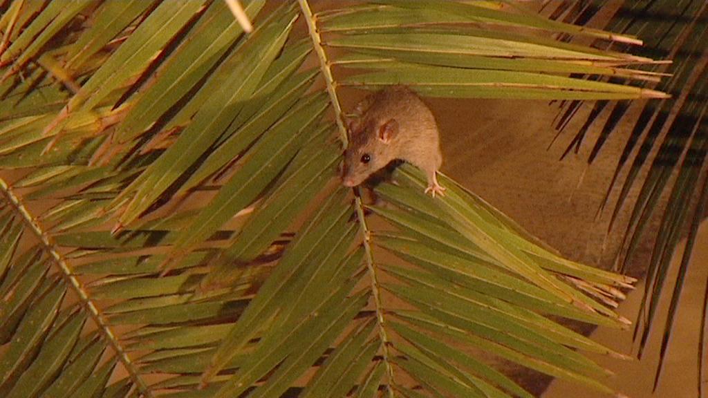 Un ospite inatteso alla presentazione del libro di Veltroni: il topo che fa capolino dalla palma della Palazzina Azzurra