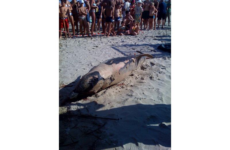 Il delfino arrivato morto sulla spiaggia di Porto d'Ascoli, venerdì pomeriggio