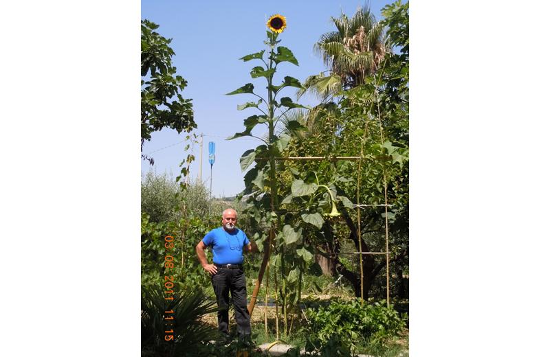 Gabriele Crescenzi con il girasole alto oltre 4 metri nel suo campo a Massignano