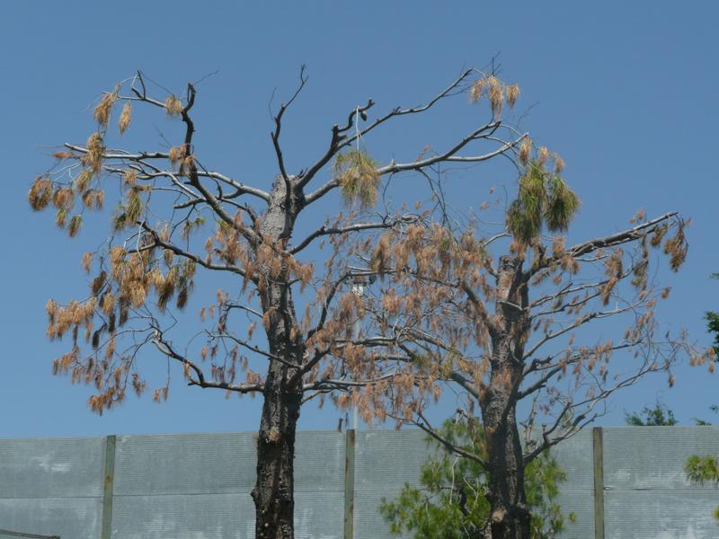 Montecretaccio, pini in cattive condizioni vicino al giacimento per l'estrazione del gas