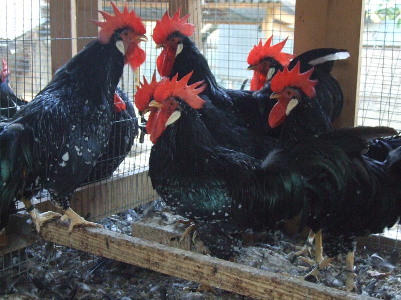 La razza avicola Ancona