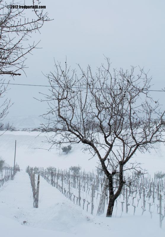 Neve febbraio 2012 Camminata Montefiore, una vigna (Fred Portelli)