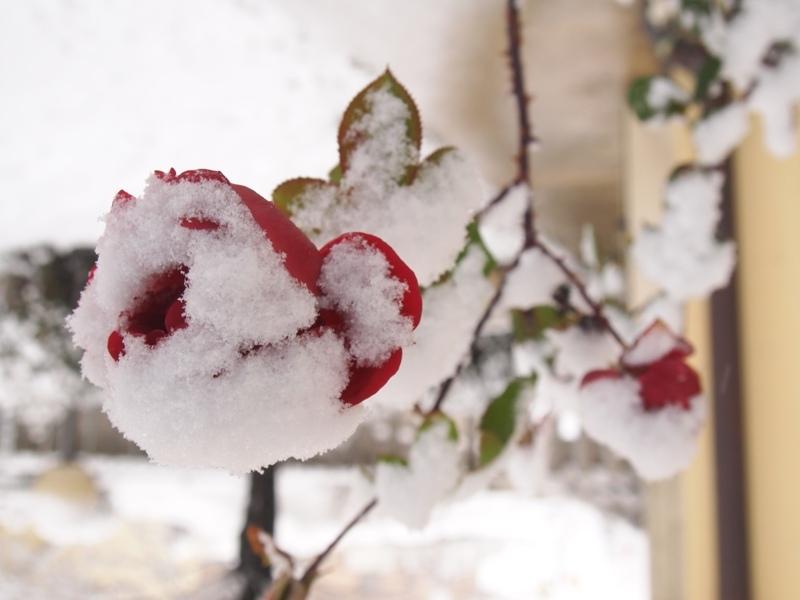 Neve a Pagliare del Tronto, un fiore, 3 febbraio 2012, foto di Erika Meireles 2