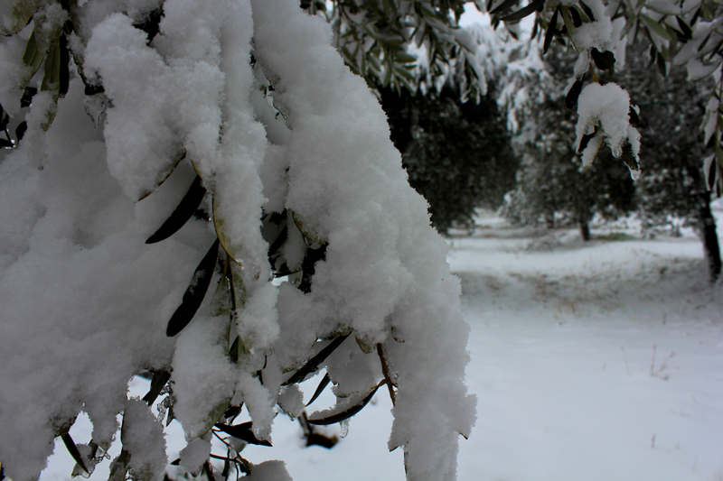 Neve sugli ulivi di Monte Renzo a Porto d'Ascoli, foto di Barbara Vecellio