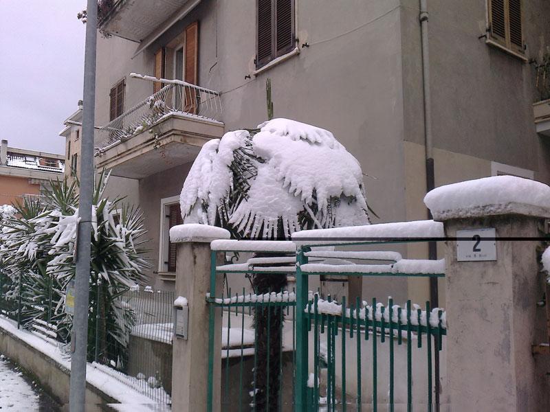San Benedetto, neve febbraio 2012,una palma innevata