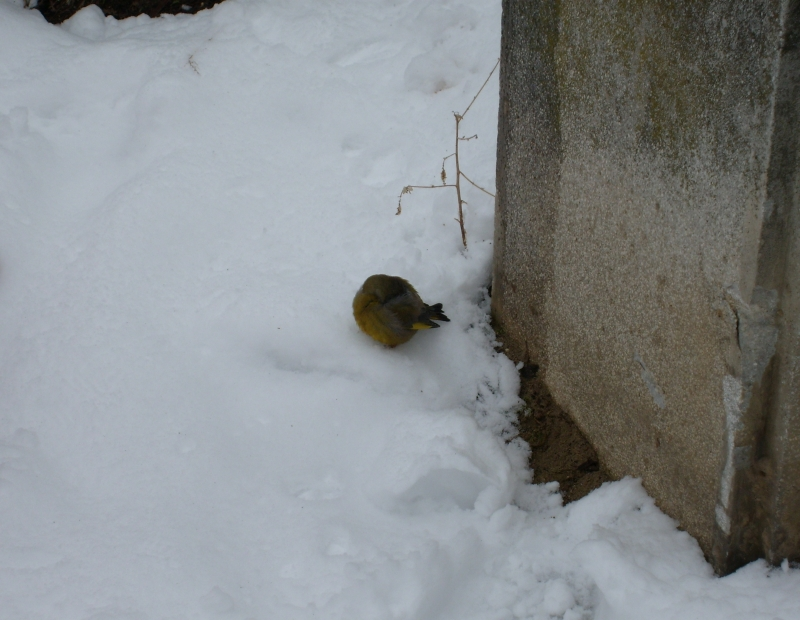 Uccellino salvato, 4 febbraio, neve a San Benedetto, Giuliano Lucidi 2