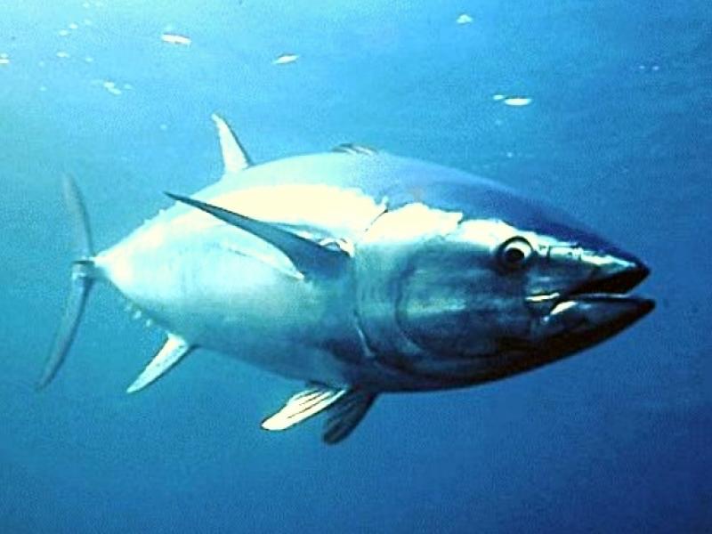 Un esemplare adulto di tonno rosso