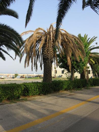 Una palma secca sul lungomare